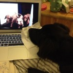 Dog Content: Hund guckt Hunde am Computer