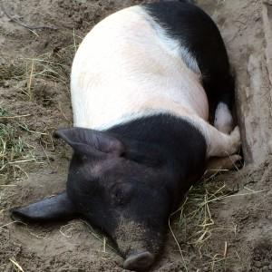 schwein gehabt ccc